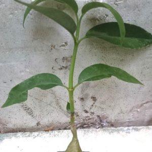 Hydnophytum simplex 'Aru Island'