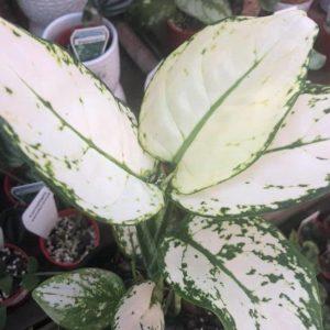 Thai Aglaonema Super White