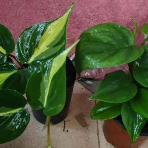 Philodendron Brazil and Emerald