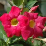 Mandevilla 'Red Riding Hood'