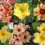 Adenium obesum Yellow Star Mix