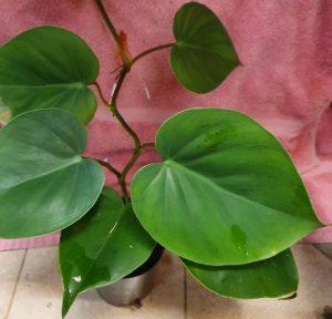 Philodendron hederaceum var. oxycardium