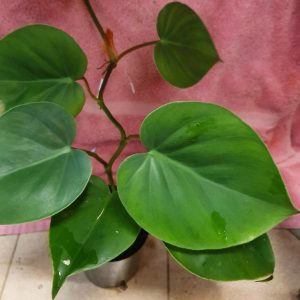 Philodendron hederaceum var. oxycardium
