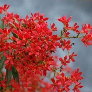 Ceratopetalum gummiferum Alberys Red
