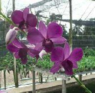 Dendrobium Airy Blue