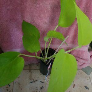 Epipremnum aureum Lime Pothos