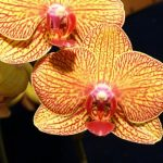 Phalaenopsis KV Beauty