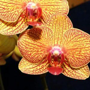 Phalaenopsis KV Beauty