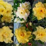 adenium double yellow mix