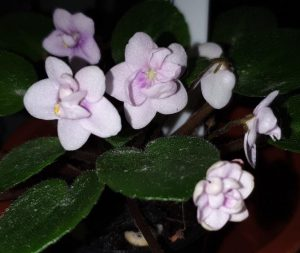 African Violet Optimara Little Pearl