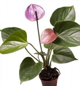 Anthurium Baby Purple
