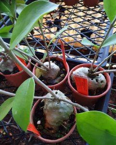 Hydnophytum moselyanum 1