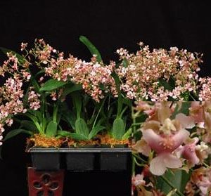 Odontocidium Pacific Sunrise 'Hakalau'