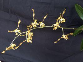 Dendrobium Twisters