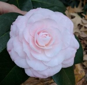 Camellia japonica Donnan's Dream
