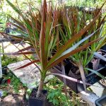 Dracaena Black Knight