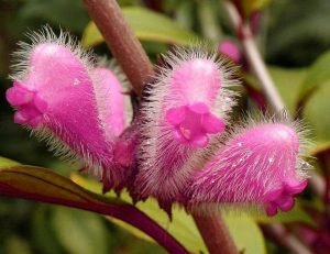 Nematanthus monanthos