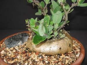 Sinningia tubiflora tuber