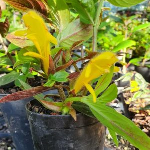 Columnea Yellow Dragon