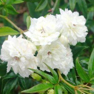 Rosa banksia Alba