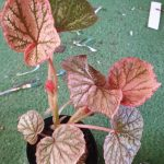 Begonia Strawberries & Cream