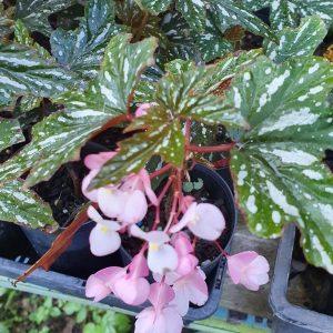 Begonia diadema 'Pink Delight'