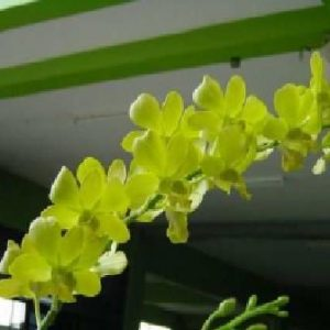 Dendrobium Aree Dang Green