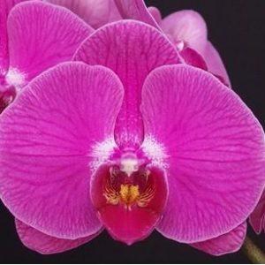 Phalaenopsis Ox Allure Beauty