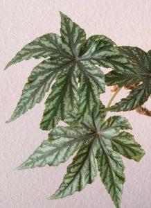 Begonia rex 'Gryphon'