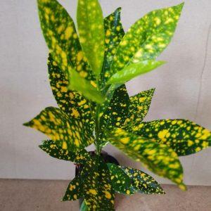 Codiaeum variegatum 'aureo-maculatum'
