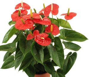 Anthurium jambo red