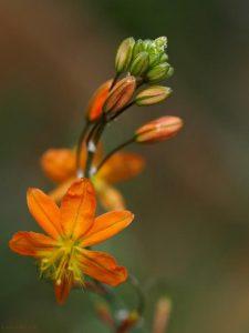 Bulbine frutescens 'Hallmark'