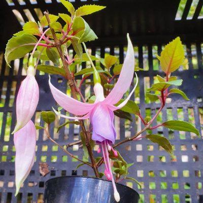 Fuchsia Lady Patricia