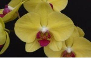Phalaenopsis Ox Golden Star