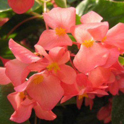 Begonia Dragon Wing Pink