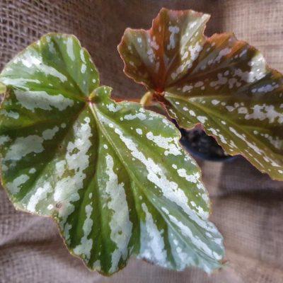 Begonia Silver Splash