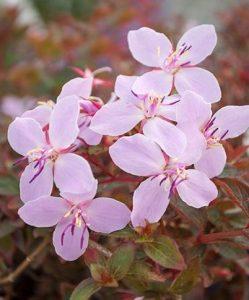 Centradenia pink cascade