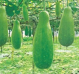 Long Bottle Gourd Lagenaria siceraria