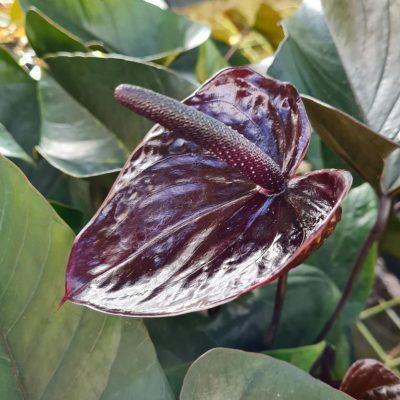 Anthurium Black King
