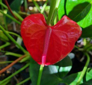 Anthurium casanova