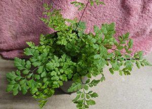 Cheilanthes austrotenuifolia
