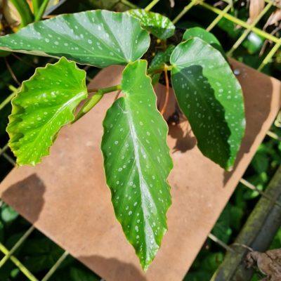 Begonia coccinea x aconitifolia