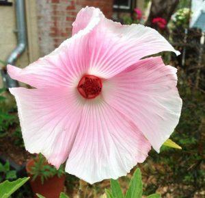 hibiscus splendens
